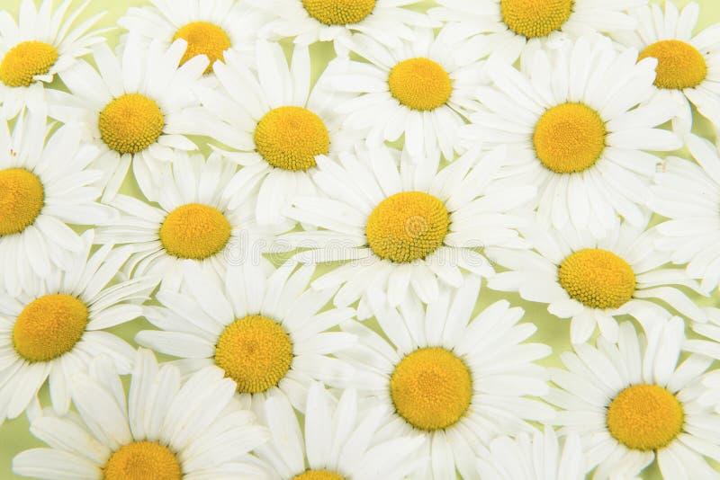 Pełny ramowy obrazek stokrotka kwiaty widzieć od above fotografia stock