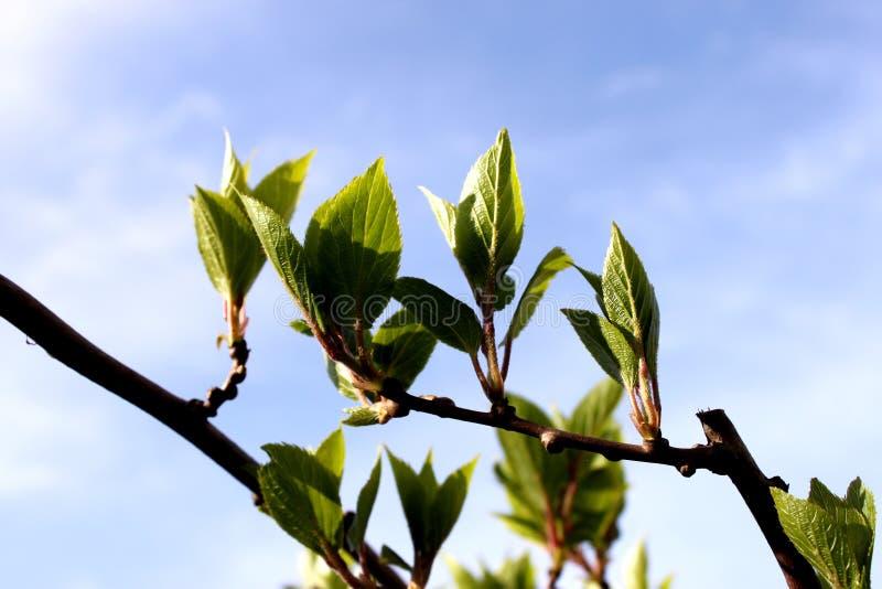 Pełzacz, mała drzewna wczesna wiosna, pierwszy opuszcza fotografia stock