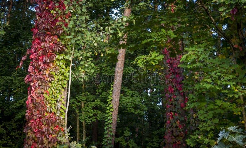 Pełzacze zakrywa bagażniki lasów drzewa obraz royalty free