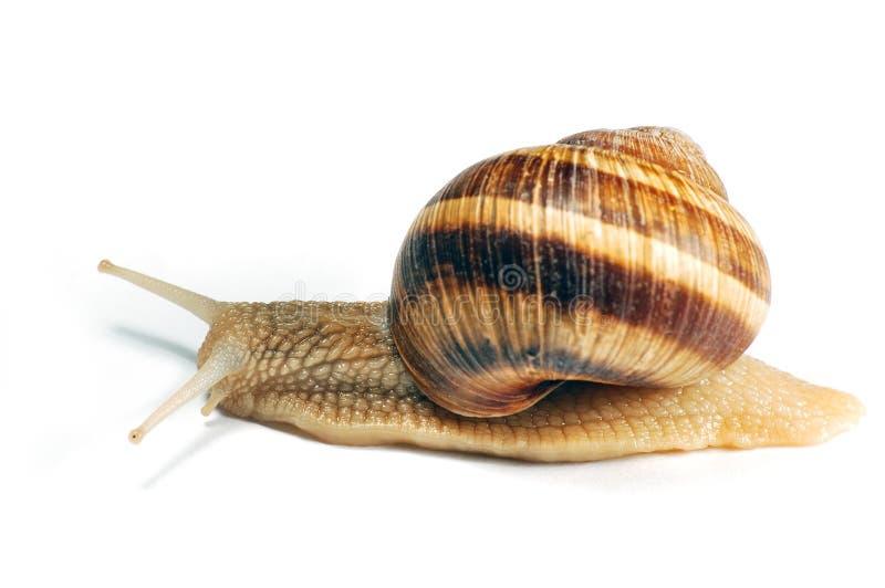 Pełzający ślimak Zdjęcie Stock