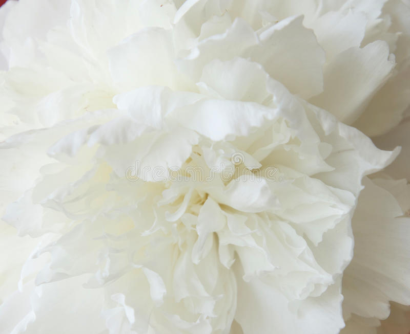 Peônia branca e macro fotografia de stock royalty free