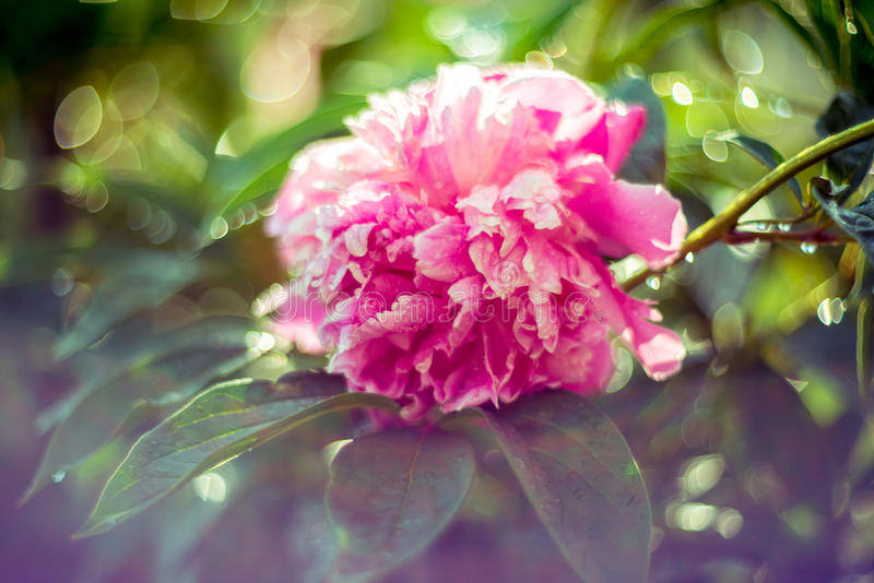 Peônia cor-de-rosa imagens de stock royalty free