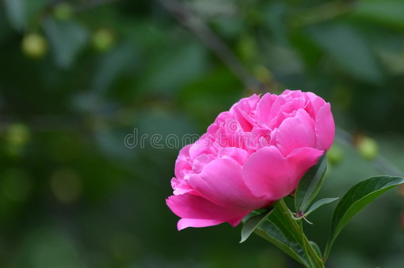 Peônia cor-de-rosa fotos de stock royalty free
