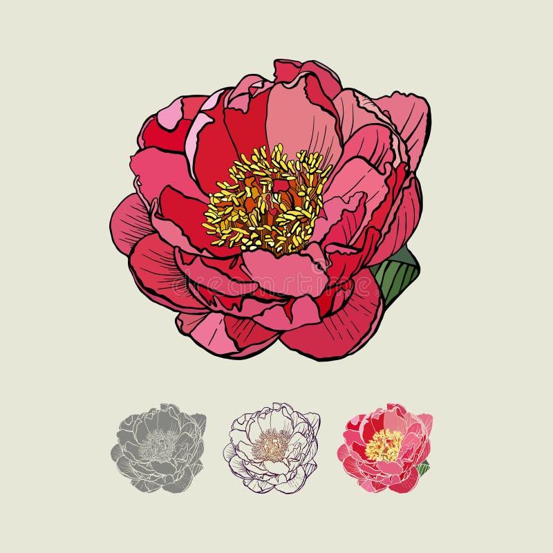 peônia cor-de-rosa, ilustração fotografia de stock
