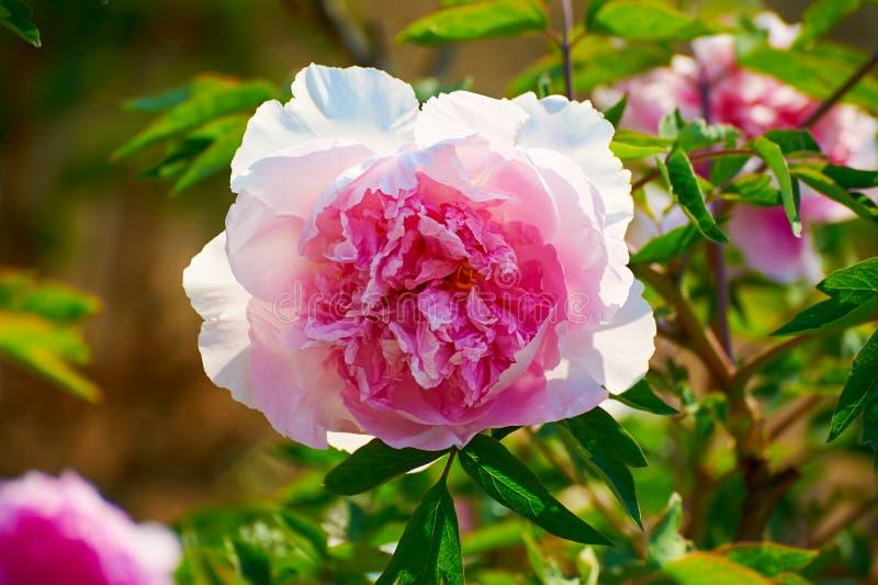 A peônia de florescência cor-de-rosa fotos de stock