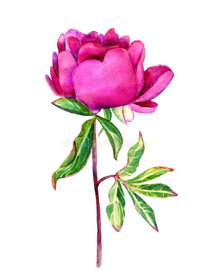Peônia delicada do rosa da aquarela ilustração stock