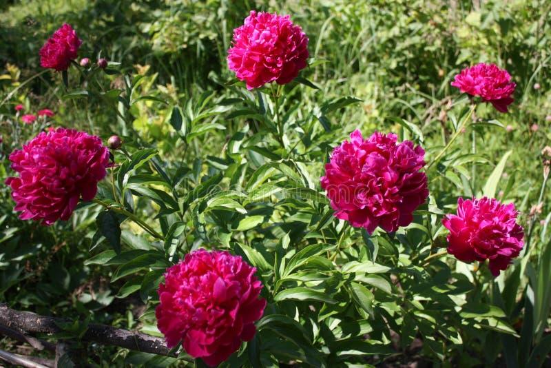 Peônia, flor, paeon, jardim, flora fotos de stock royalty free