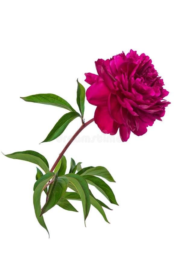 Peônia roxa isolada no fundo branco foto de stock royalty free