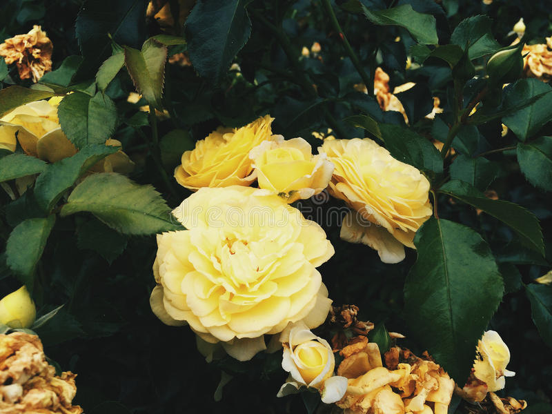 Peônias amarelas foto de stock royalty free