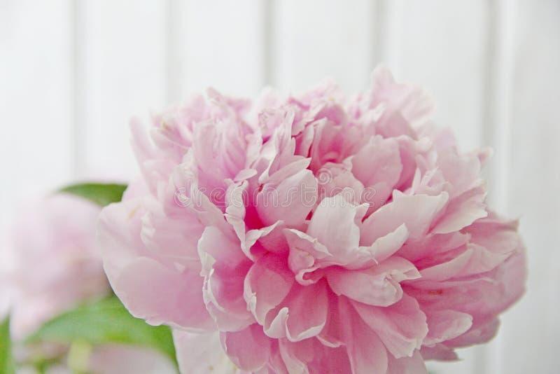 Peônias cor-de-rosa imagem de stock