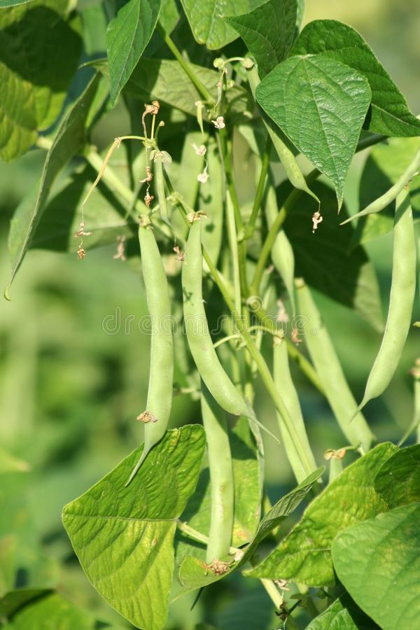 Download Pea stock photo. Image of green, nature, plant, garden - 25580958