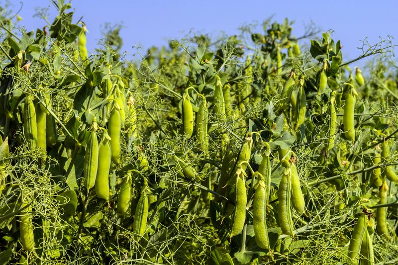 Pea beans on plants, in the field, against a background of pure sunny sky royalty free stock photo