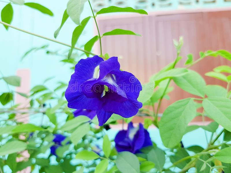 Pea flowers are blooming in the sunlight during the daytime. Suitable to be used as herbal medicine royalty free stock image