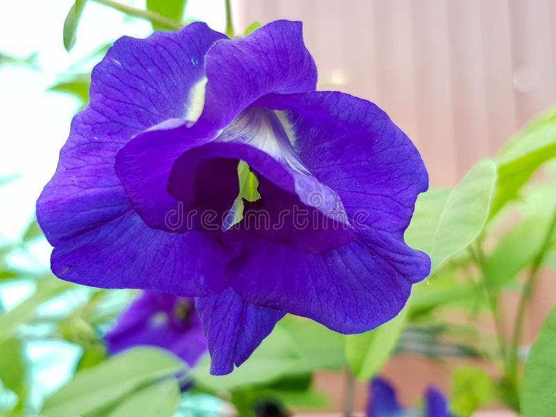 Pea flowers are blooming in the sunlight during the daytime. Suitable to be used as herbal medicine stock photography