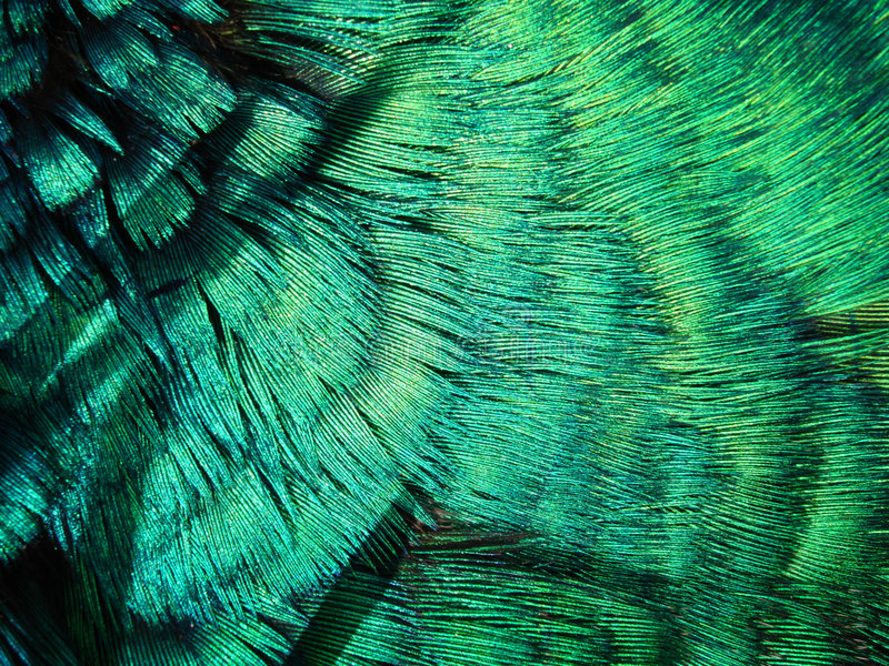 Download Pea Fowl Feathers Stock Photo - Image: 4696210