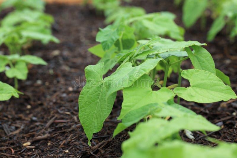 Pea Garden Stock Image