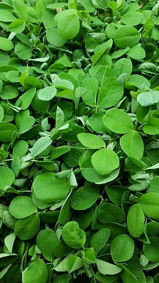 Pea Microgreen Shoots in grow lights. Growing many healthy and nutritious Home grown micro greens indoors. Perfect for a high nutrition salad addition. Not a stock images