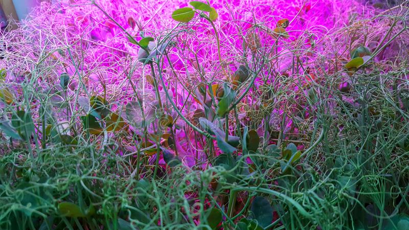 Pea Microgreen Shoots in grow lights. Growing many healthy and nutritious Home grown micro greens indoors. Perfect for a high nutrition salad addition. Not a royalty free stock photos