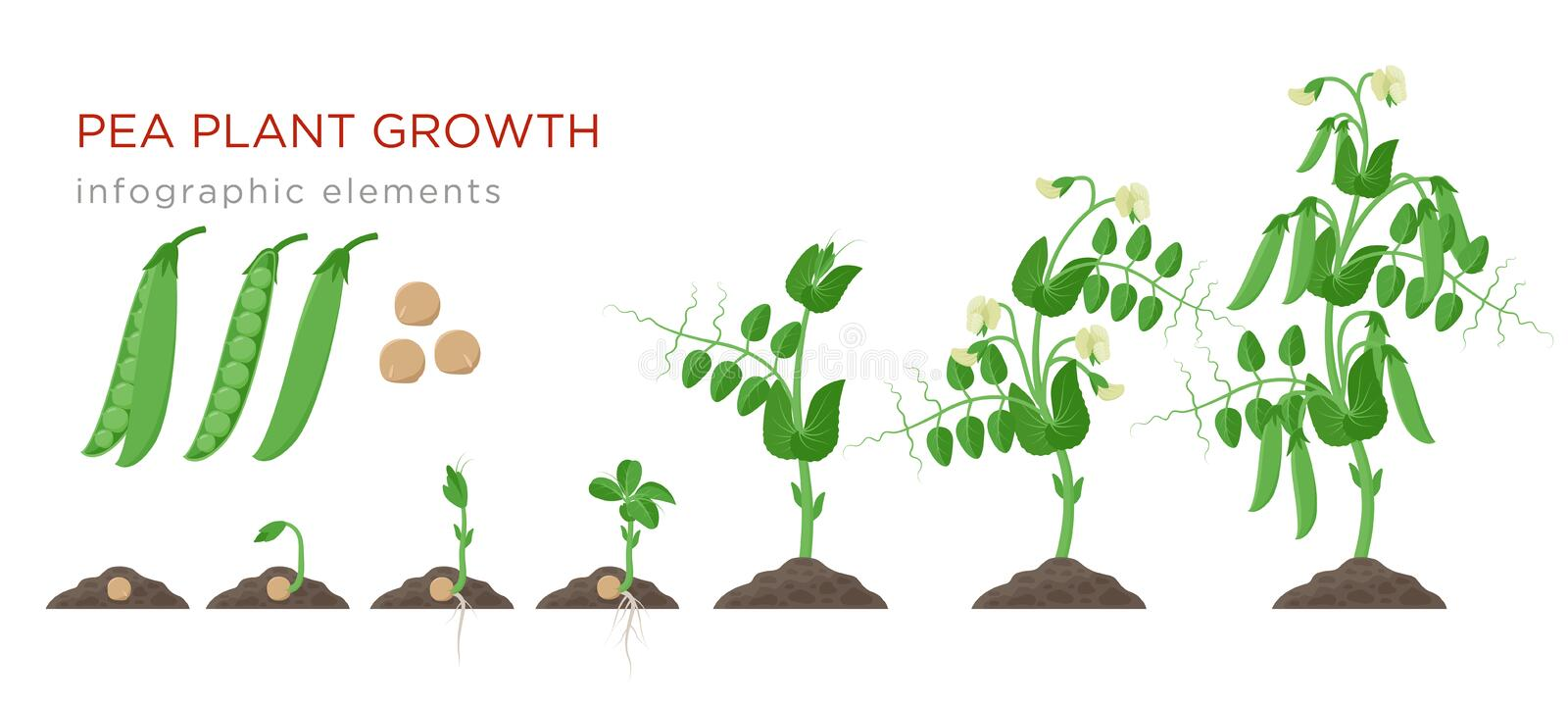 Pea plant growth stages infographic elements in flat design. Planting process of peas from seeds sprout to ripe. Vegetable, plant life cycle isolated on white royalty free illustration