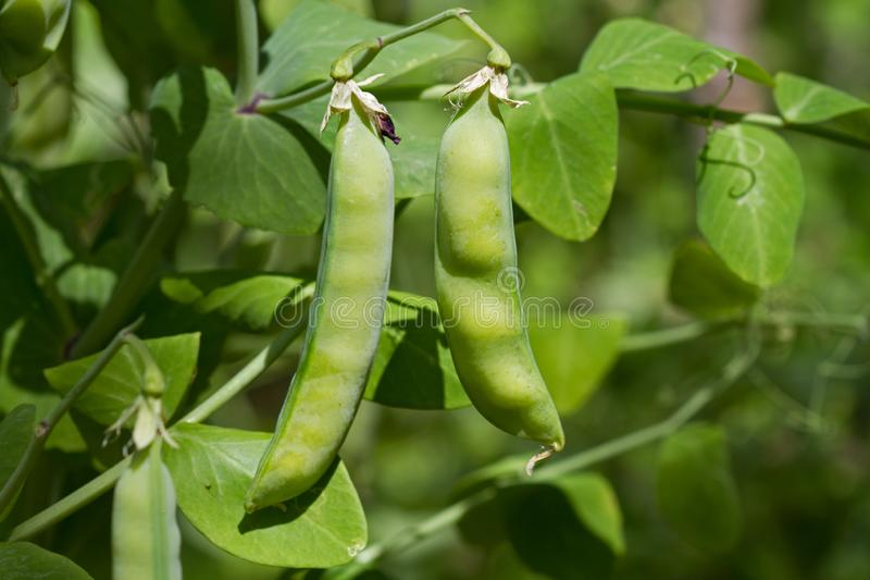 Pea plant with pods royalty free stock image