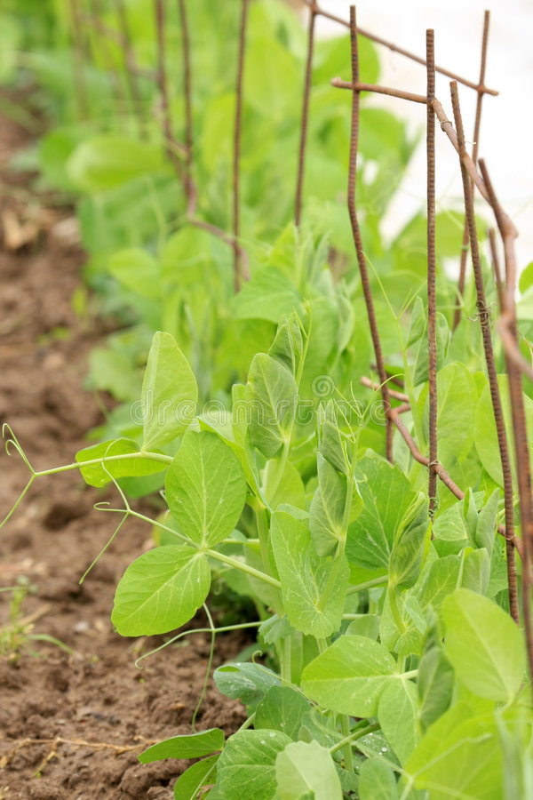 Free Pea Plants Growing In A Garden Royalty Free Stock Photos - 5553868