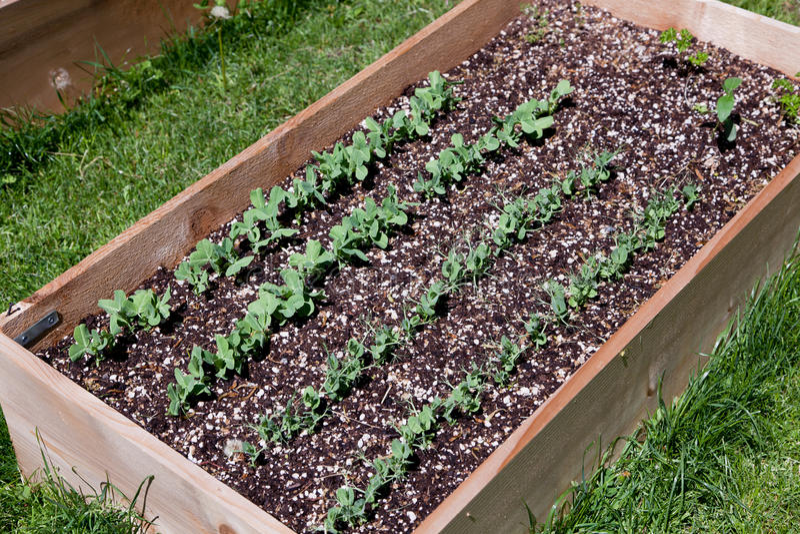 Pea Plants in Opgeheven Bed royalty-vrije stock foto