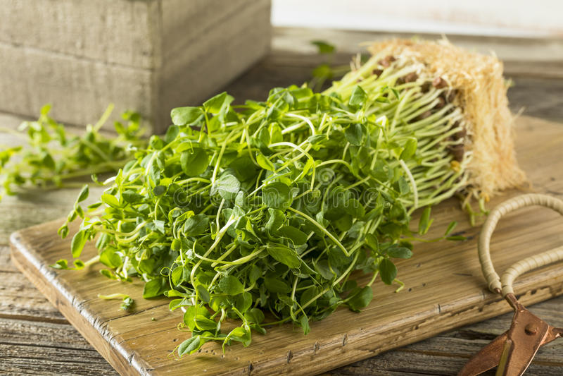 Pea Shoots verde cru orgânico imagens de stock royalty free