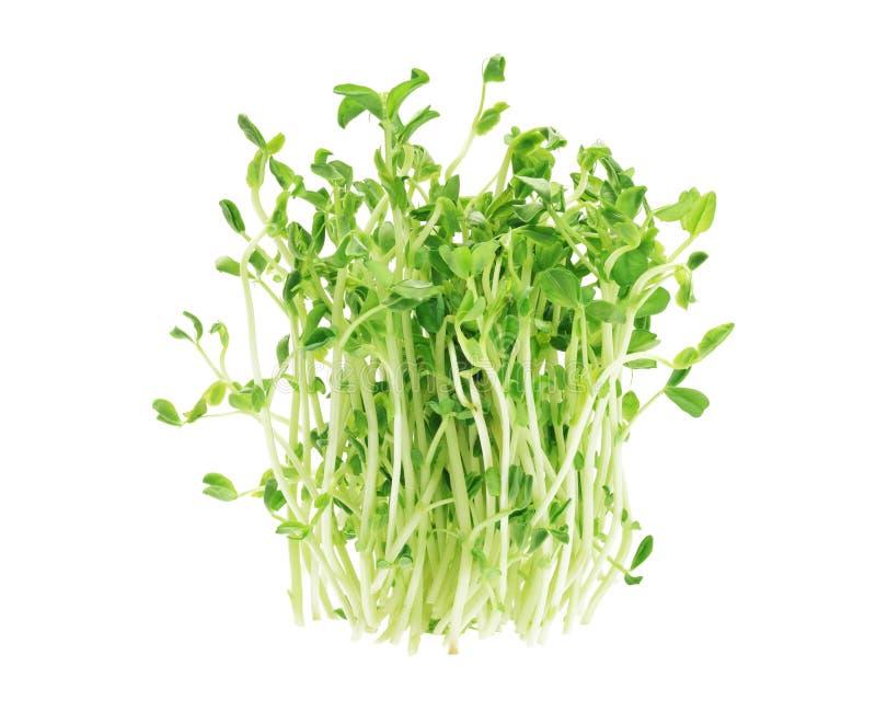 Pea Sprouts royalty-vrije stock afbeeldingen