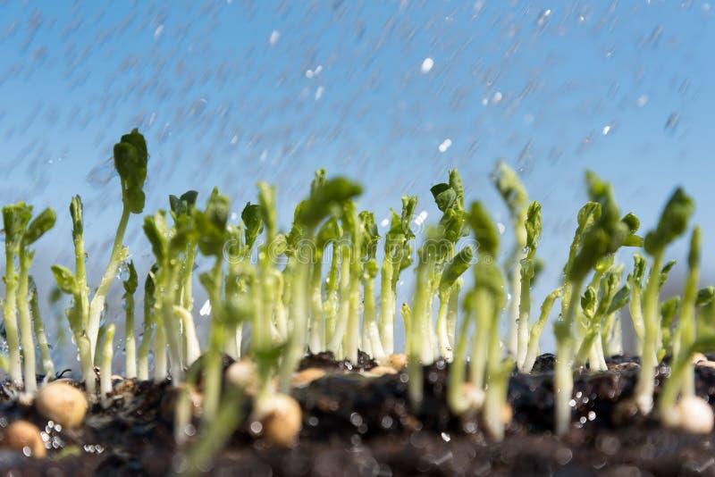 Pea Sprouts stock foto