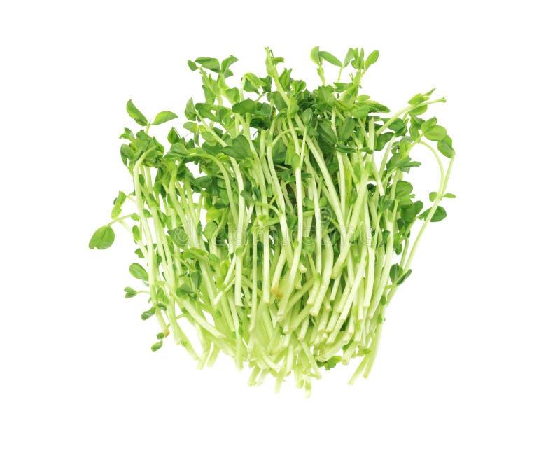 Pea Sprouts frais images libres de droits