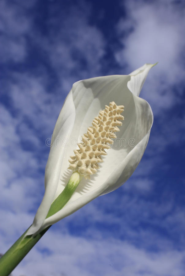 Peace lilly stock photo