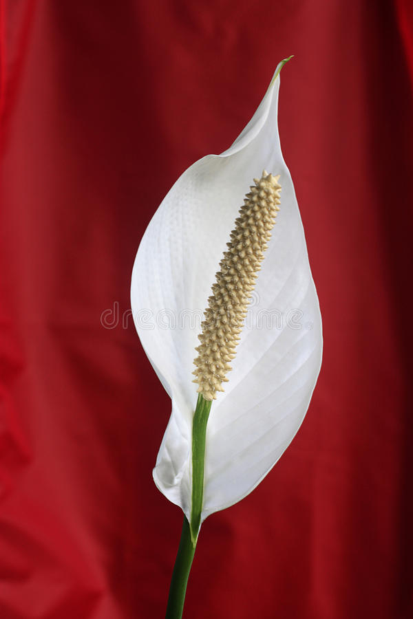 Peace lilly royalty free stock images