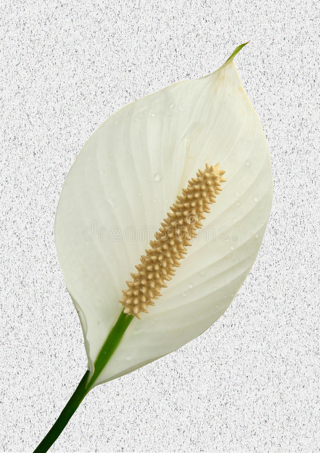 Peace lilly. One beautiful white peace lilly on speckled background stock photography