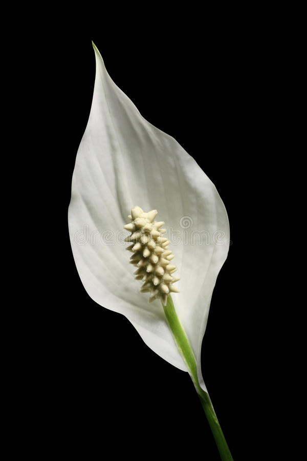 Peace lily stock image