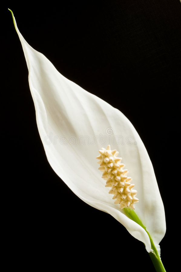 Download Peace Lily stock image. Image of flora, black, lily, tranquil - 5266475