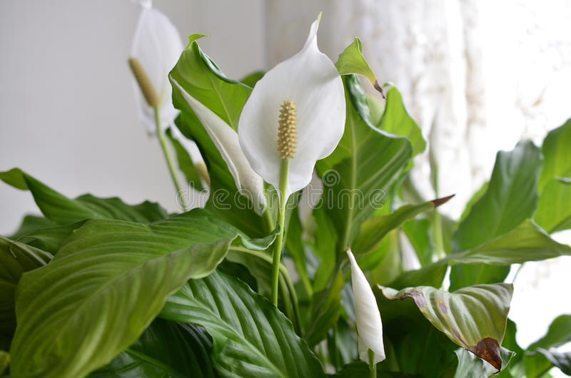 Peace lily flower stock image