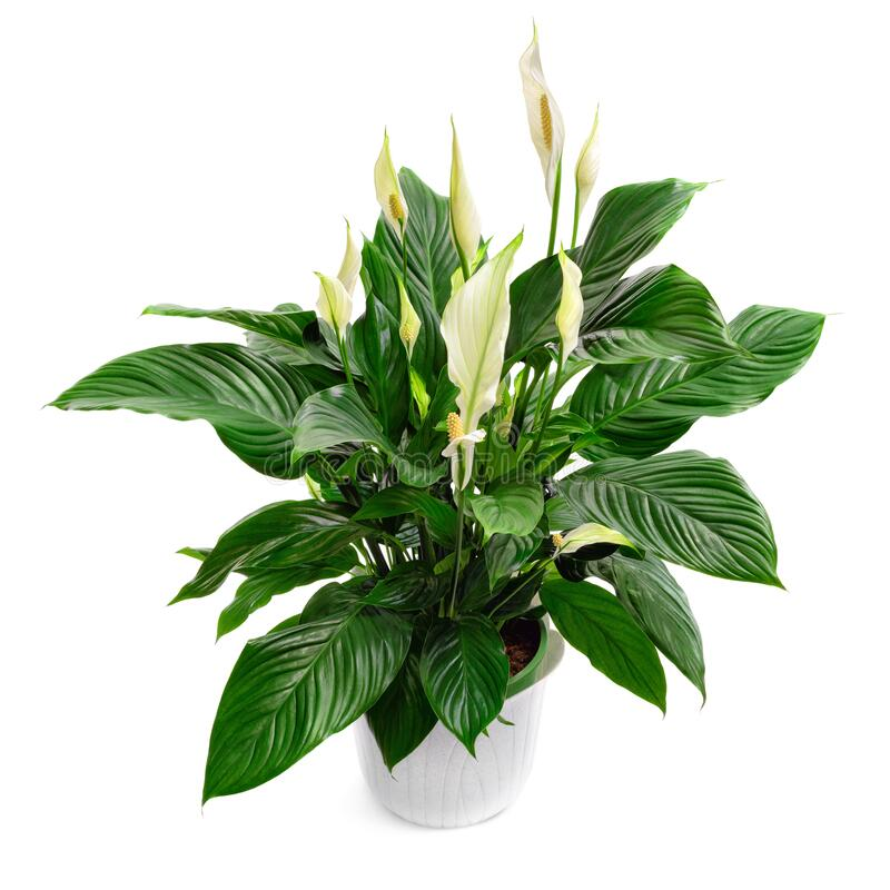 Free Peace Lily Houseplant Isolated On White Stock Image - 182897441