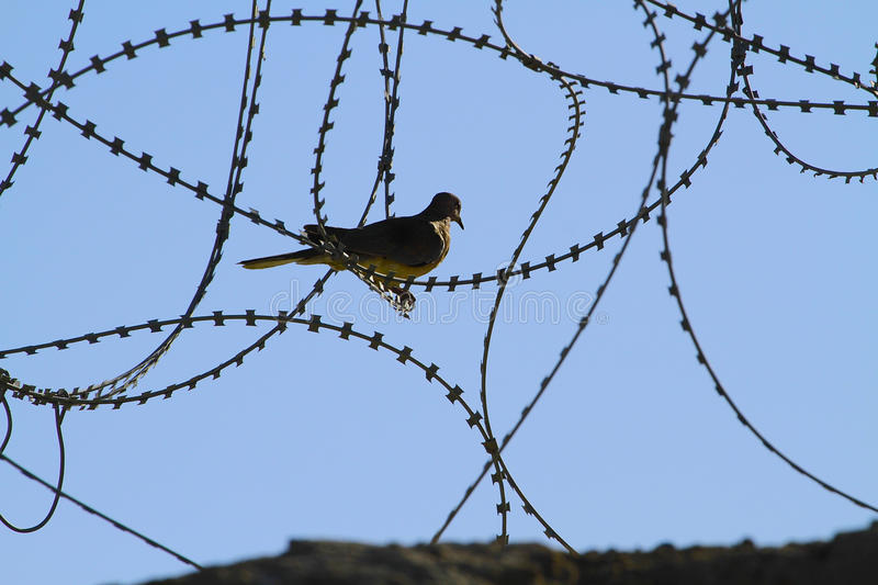 Peace and war. A pigion or dove standing on barbed wire symbolic of war and peace in a world full of military conflict and war on terror and terrorists in the stock photography