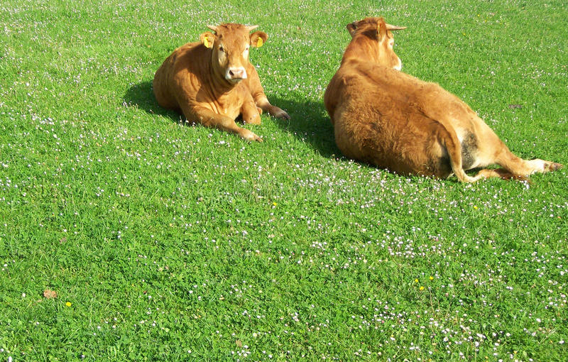 Peaceful cows