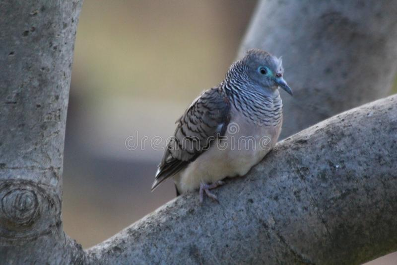 Peaceful Dove on a Log. The peaceful dove is a pigeon native to Australia and New Guinea. The peaceful dove is closely related to the zebra dove of south-east stock photo