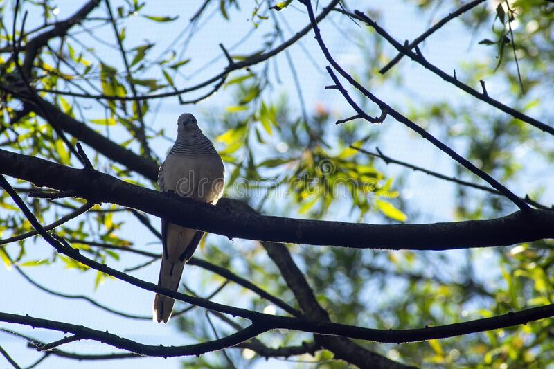 Peaceful dove viewed from below, Sydney, Australia. Peaceful dove perched on a branch viewed from below, Sydney, Australia stock images