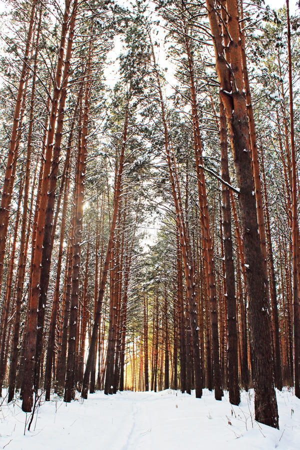 The peaceful forest in winter royalty free stock photography