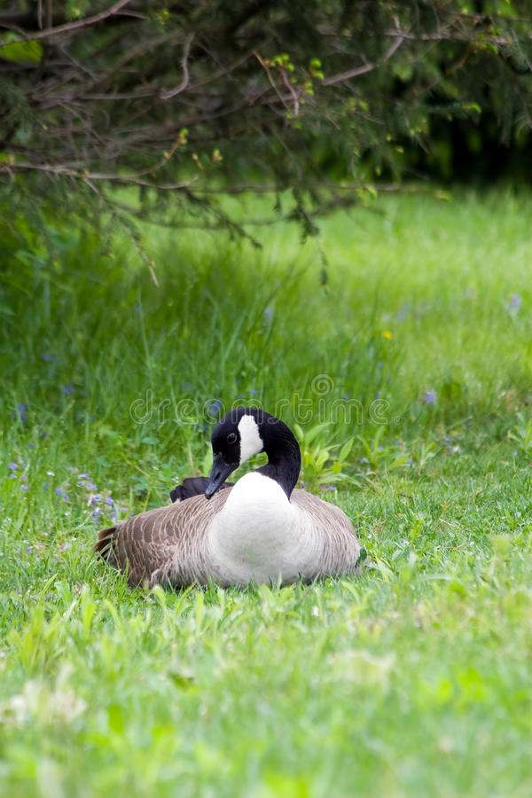 Free Peaceful Goose Stock Photography - 15246142