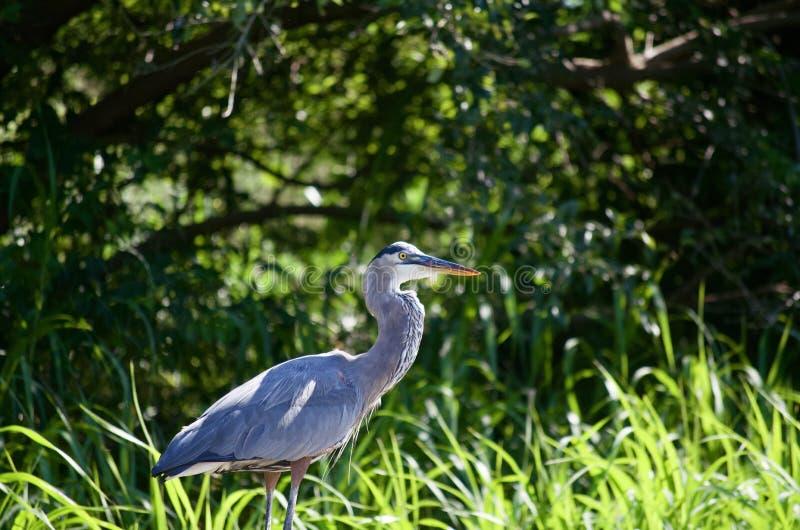 Great Blue Heron stock image