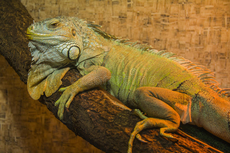 Peaceful Iguana. Close up shot of a green Iguana resting on a tree branch stock photography