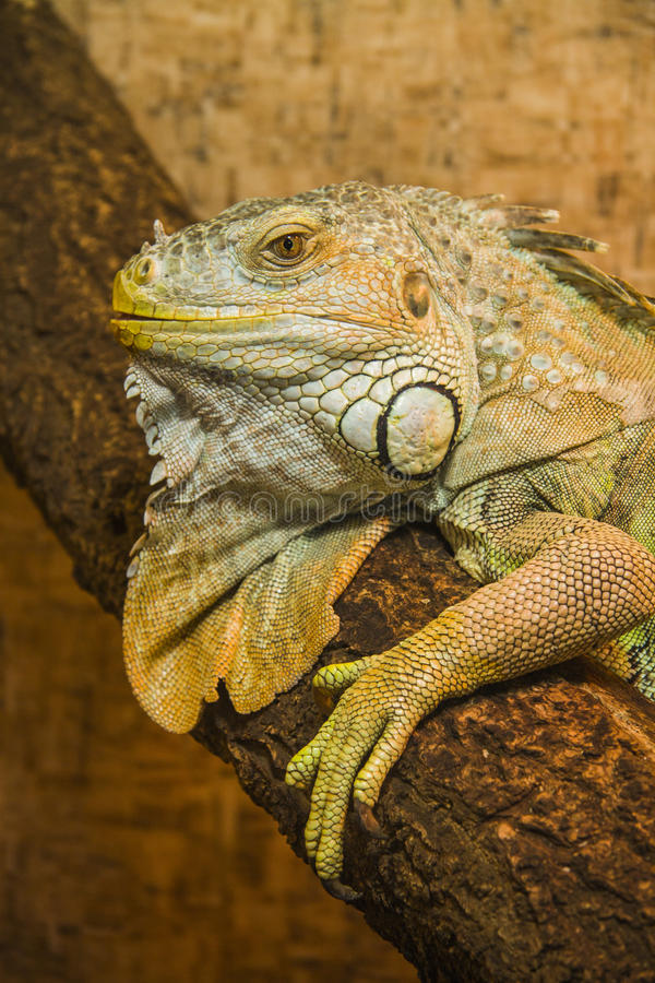 Peaceful Iguana. Close up shot of a green Iguana resting on a tree branch royalty free stock image