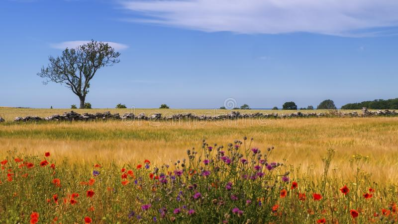 Peaceful landscape by beautiful day in Oland island, Sweden. Peaceful landscape with poppies by beautiful day in Oland island, Sweden royalty free stock photos