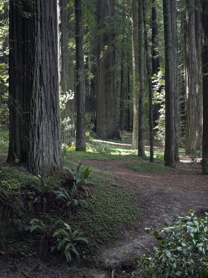 Peaceful Path Through The California Redwoods Stock Image