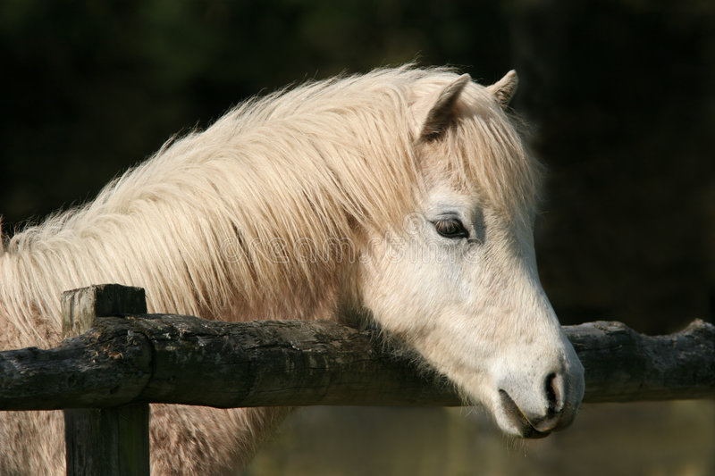 Peaceful Pony. Portrait of a white foal. Welsh Section B horse royalty free stock photo