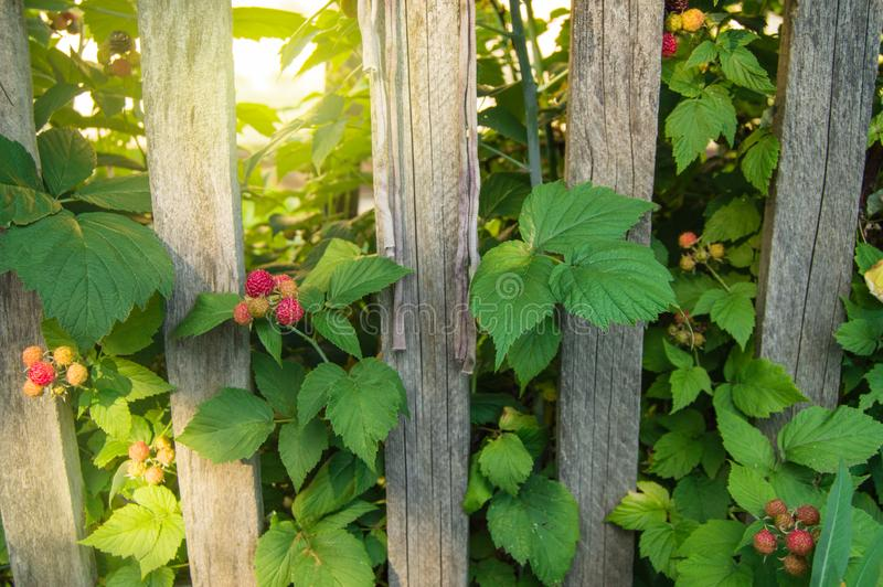 Peaceful rural landscape -BlackBerry bushes with ripe berries grow near the old wooden fence against the background of bright stock image